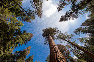 Photo: Sequoias.. they live for thousand years  Today first time in my life I've seen giant sequoias... Through fisheye:-) Unfortunately this visit to California was not planed and become really sad...