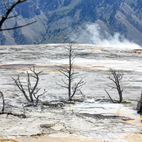 Trees in hot springs by Karen Coston - Landscapes Travel ( dead wood, tree, wyoming, yellowstone national park, otherworldly, mammoth hot springs )