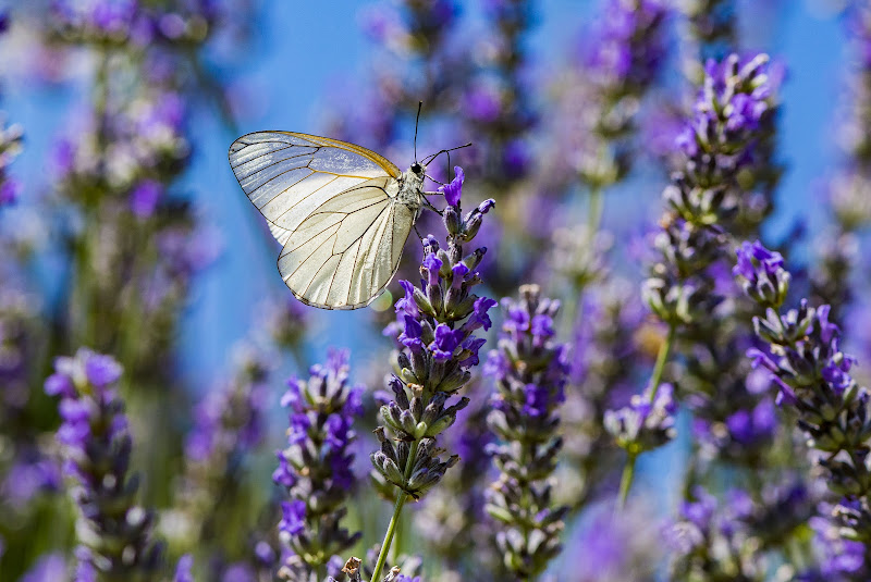 La farfalla conta i momenti, perciò ha tempo a sufficienza. di Trizio