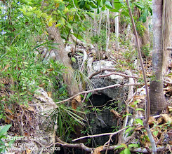 Photo: Adrian's Cave, edge of Ironwood Forest, Grand Cayman. Photo: Ann Stafford, March 20, 2005