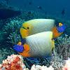 Yellow-masked Angelfish