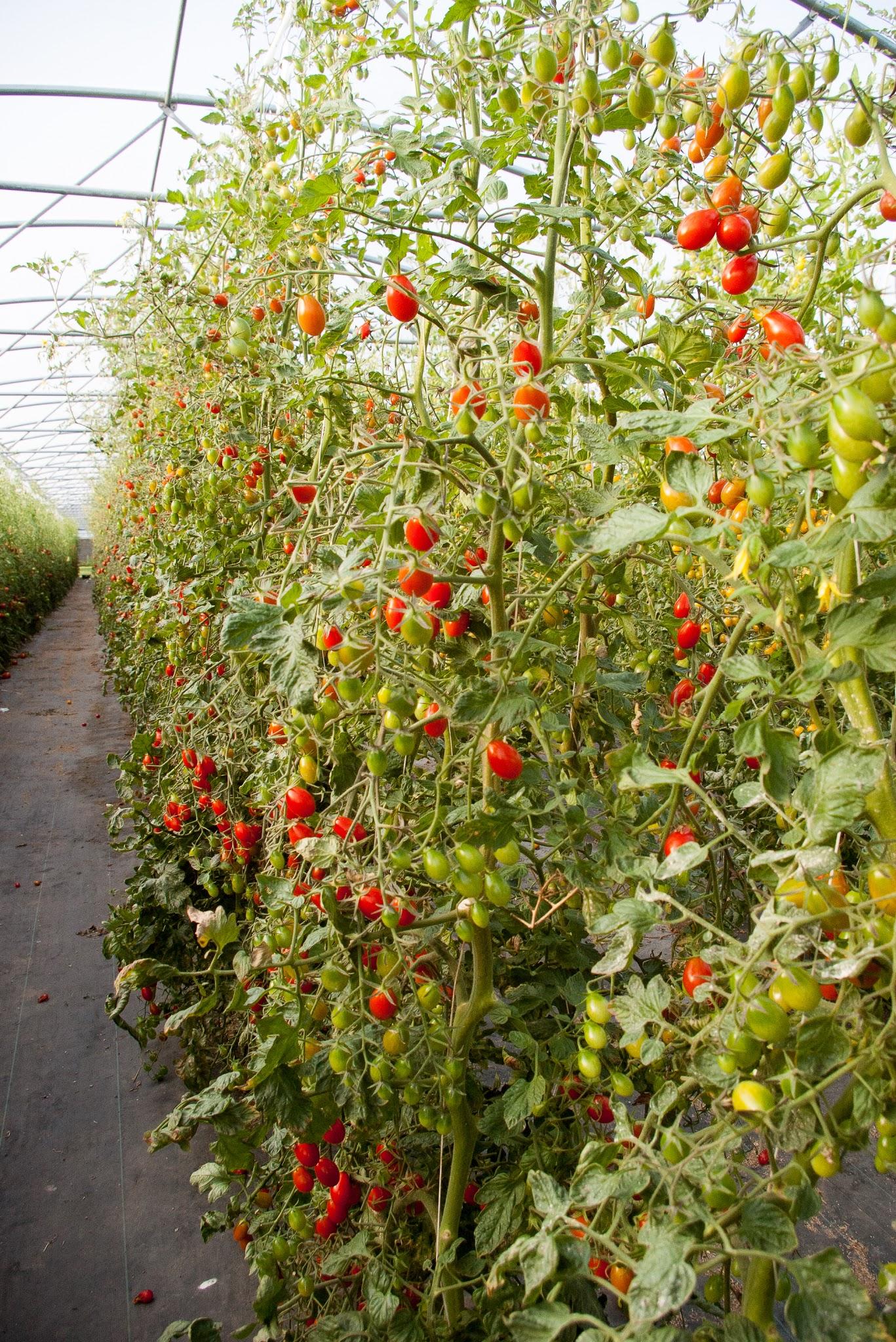 Photo: Les tomates cerises