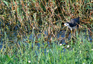 Photo: White breasted waterhen