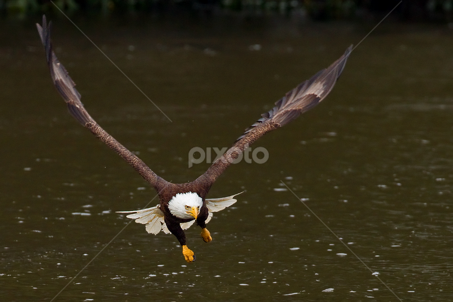 by Herb Houghton - Animals Birds ( bird of prey, eagle, bald eagle, raptor, herbhoughton.com, fishing )