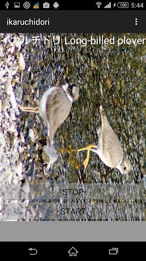 鳥の鳴き声イカルチドリ