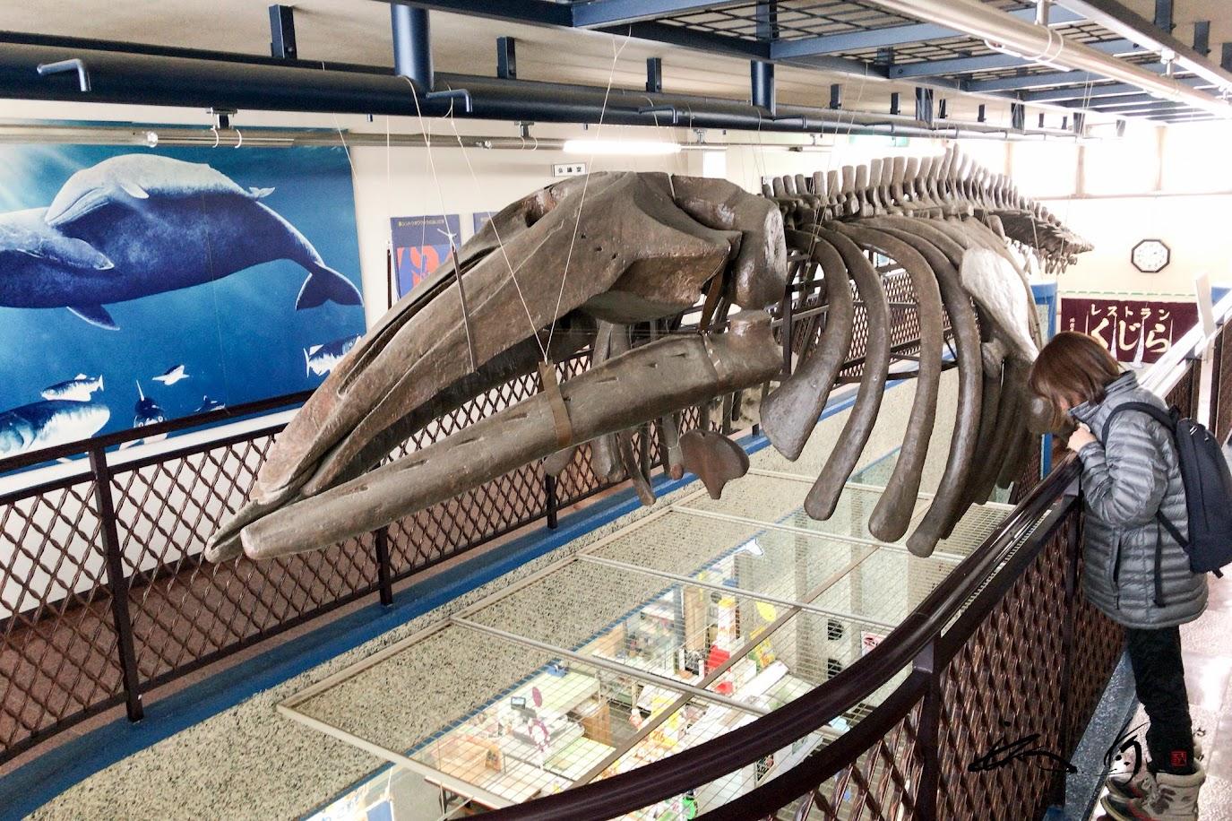 約500万年前のクジラの化石の骨格レプリカ