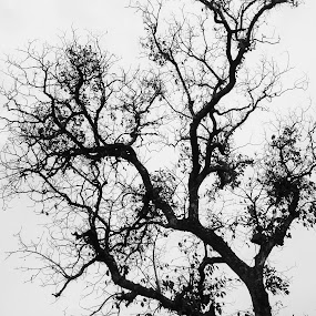 Branches by Sandeep Suman - Nature Up Close Trees & Bushes ( nature, tree, leaves, high contrast, branches )