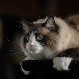 Gimme  by Bob White - Animals - Cats Portraits ( #ragdoll #cat #photography #ragdollcats #playfulness #love,  )