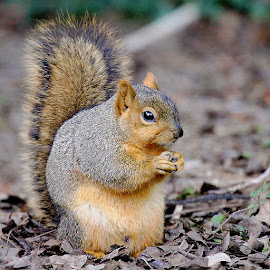 American red squirrel by Gérard CHATENET - Animals Other Mammals (  )