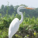 Garza Real/ Great Egret