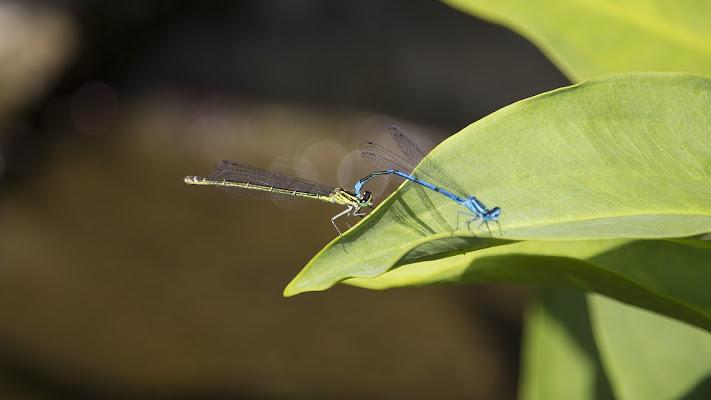 L'accoppiamento delle libellule di MA