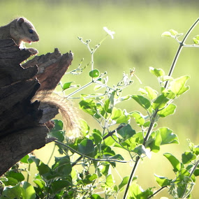 African Squirrel by Rebecca Imwalle - Animals Other