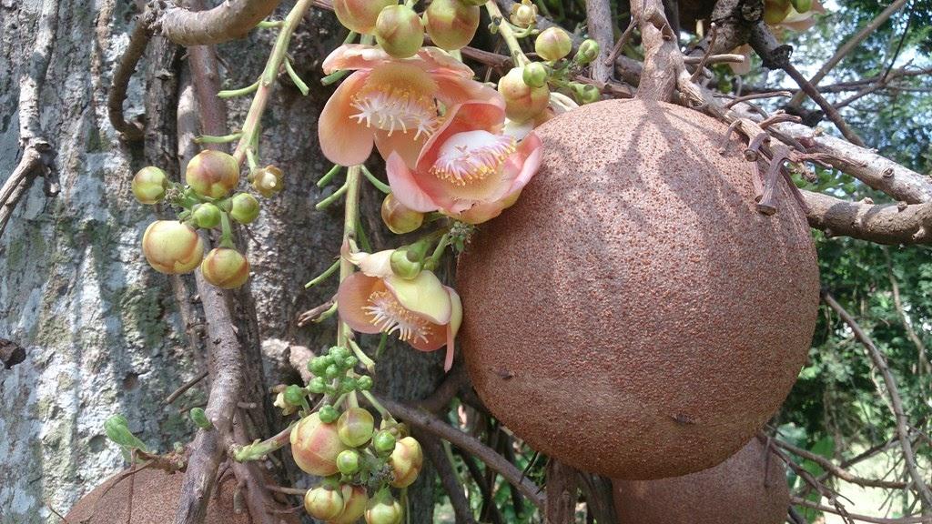 Abricó de macaco, a árvore com bola de canhão