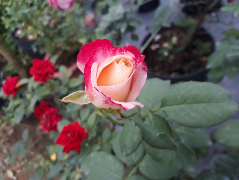 Nụ hoa hồng Double Delight rose chuẩn bị hé nở