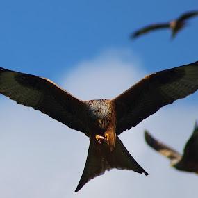 Red Kites at feeding time by Andy Storey - Animals Birds ( kites, birds )