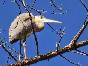 Photo: Heron in a tree at Carriage Hill Metropark in Dayton, Ohio.