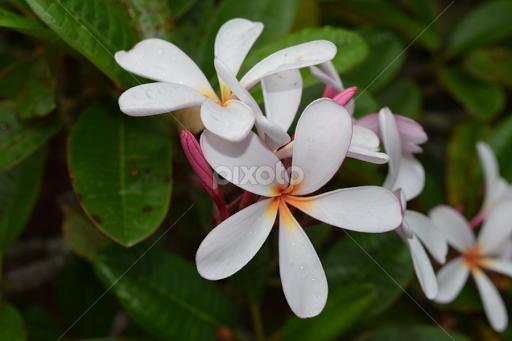 White plumeria flowers in the wild flowers pixoto white plumeria by monique littlejohn flowers flowers in the wild hawaii flower fragrant mightylinksfo