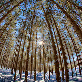 Light Through the Trees by Brad Bellisle - Landscapes Forests ( forest, pine, sunburst, tree, sunstar,  )