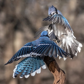 Blue Jays Fighting 0477 by Carl Albro - Animals Birds ( blue jay, bird, fighting, birds, wildlife )