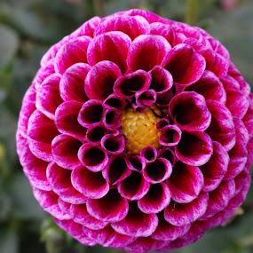 Full Bloom.... by Gautam Tarafder - Flowers Single Flower (  )