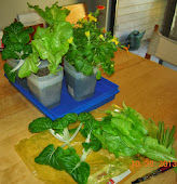 13-14 week summercrisp, 5 week toy choi (2 harvested, plus lettuce harvest), 11 week mimulus - organic nutes on the lettuce