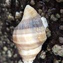 Wrinkled purple whelk