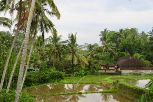 Petulu-Heron-Colony
