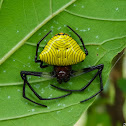 Yellow zebra spider