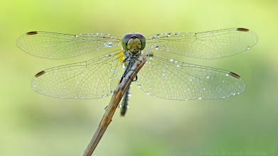 Photo: Sympetrum sp. http://lepidoptera-butterflies.blogspot.com/  https://www.facebook.com/pages/Macro-Photography-Do-Dema/540798875993427