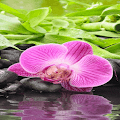 Pink Orchid Blooming LWP APK