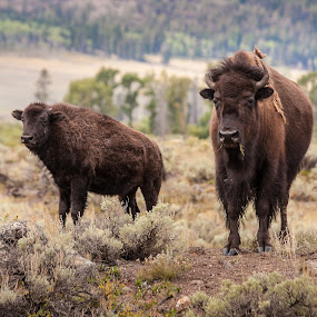 Bison, Bison by Craig Pifer - Animals Other Mammals ( buffalo, animals, yellowstone, national park, nature, bison, wyoming, yellowstone national park, yellowstone np )