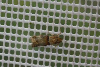 Photo: Acrobasis repandana     Lepidoptera > Pyralidae