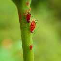 The Aphid Family