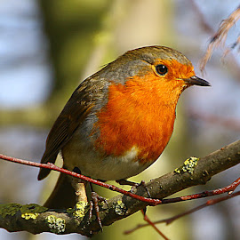 Waiting for Lunch by Chrissie Barrow - Animals Birds ( robin, red, closeup, feathers, bird, european, animal, wild )