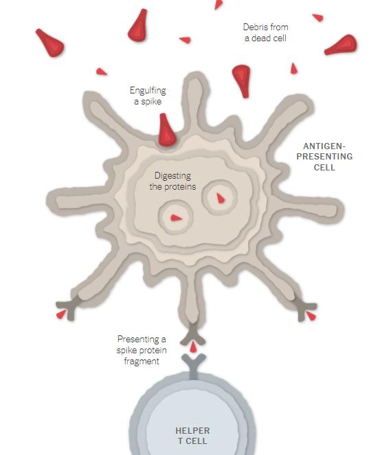Detecção do invasor pelo organismo