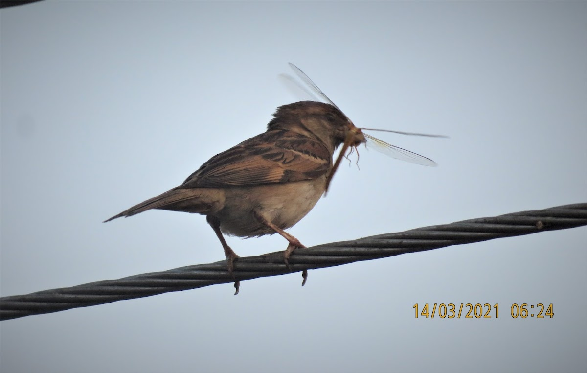 House-sparrow with dragonfly