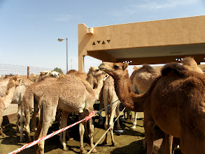 Photo: camel market