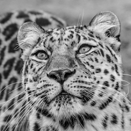 Leopard by Garry Chisholm - Black & White Animals ( leopard, mammal, nature, cat survival trust, garry chisholm )