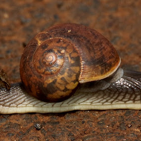 by Vivek Naik - Animals Other ( land snail,  )