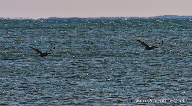 Photo: The pelicans riding the air currents