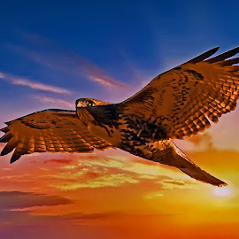 Flying by Bill Diller - Digital Art Animals ( in flight, flight, red tailed hawk, michigan, bird of prey, yellow, colors, birds of prey, bird, flying, soaring, sunset, hawk )