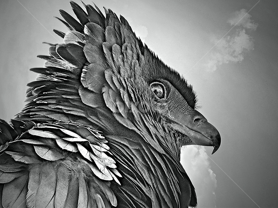 Bateleur by Pieter J de Villiers - Black & White Animals ( animals, black & white, bateleur, birds, portrait, raptors )