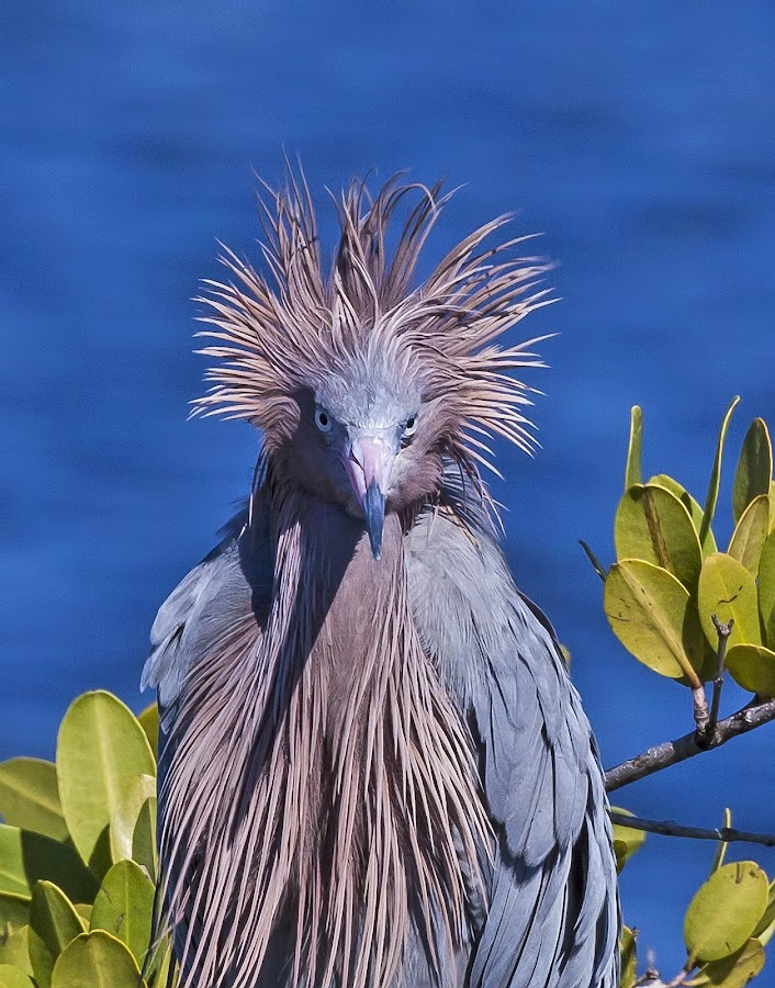 Bad Hair Day by Larry Gambon - Animals Birds ( photograph, environment, nature, wildlife, shorebird, larry gambon )