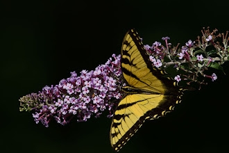 Photo: Tiger Swallowtail on Buddleia