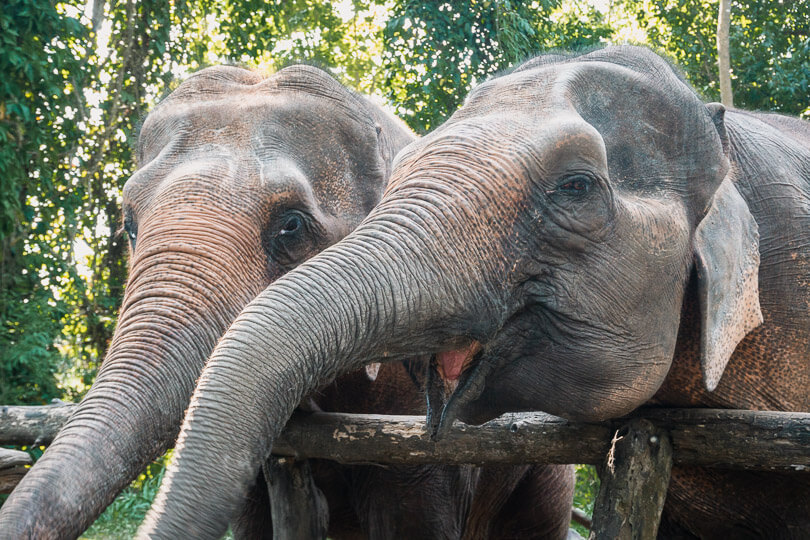 Feeding two of our elephant friends at an ethical elephant sanctuary in Chiang Mai.