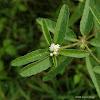 Croton, Doveweed, Tooth-leaved Croton, Sand Croton