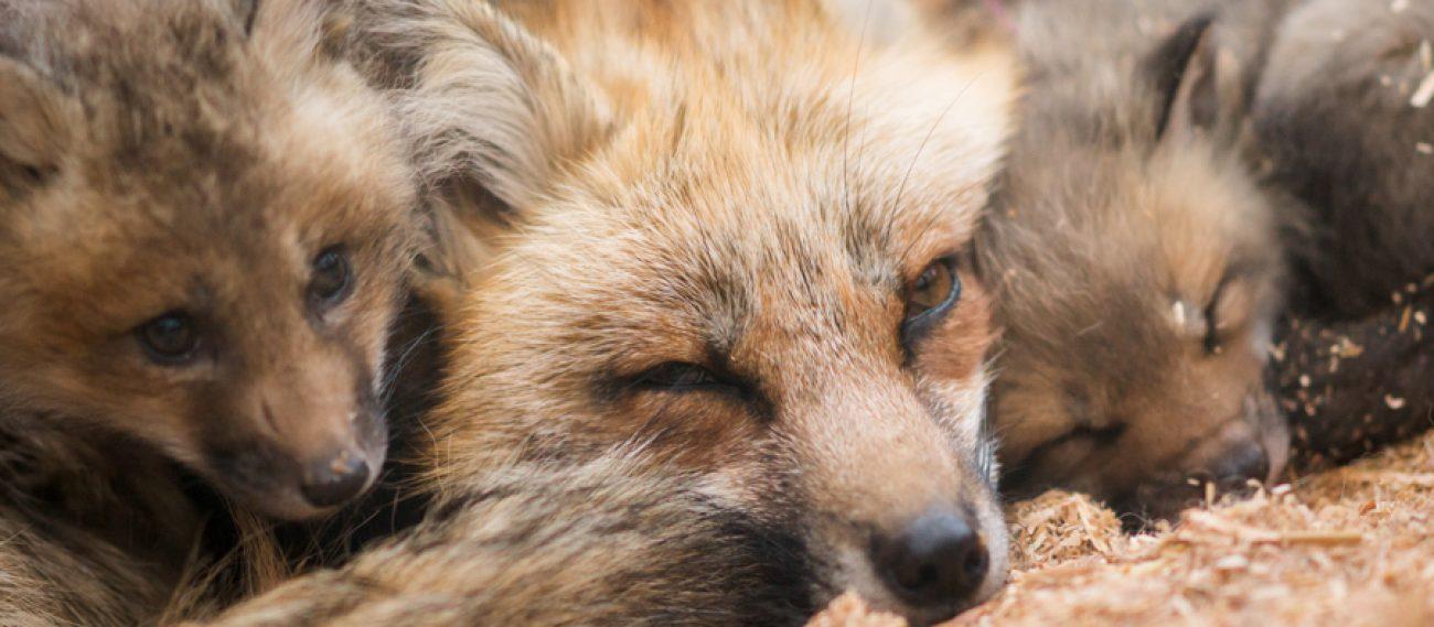 http://zao-fox-village.com/wp-content/uploads/2017/04/cropped-20140505_124811_foxinfonet.jpg