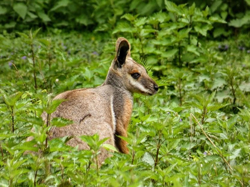 Mały kangur