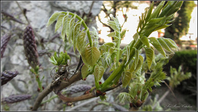 Photo: Glicina (Wisteria sinensis) , din Turda, parcul catedralei - 2019.04.20