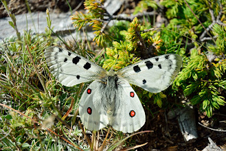 Photo: Mariposa apolo (Parnassius apollo)